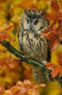 If anyone knows what type of owl this is, please let me know. Just gorgeous!!!: Animals, Birds Owls, Autumn Leaves, Fall Owl, Autumn Owl, Owl