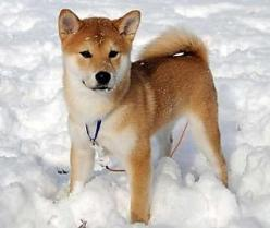 If I ever get a dog it will be one like this and I shall name him Alekade. <3: Animals, Dogs, Pets, Shiba Inus, Puppy, Dog Breeds, Friend, Shibainu