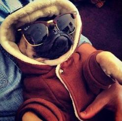 If I was a pug, this is what I'd look like: Animals, Dogs, Pug Life, Funny, Pug Obsession, Ray Ban, Pugs Life