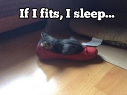 If it's shoes, I snooze…: Funny Pets, Funny Cats, Funny Kitten Shoe Fit Sleep, Animals Cat, Kitty, It S Shoes, Cats Funny, Baby Cat