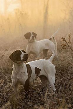 If you have never seen a hunting dog in action it is pretty amazing. Truly a natural habit.: Hunting Dogs, Animals, Bird Dogs, Birddogs, Birds, Photo, Friend