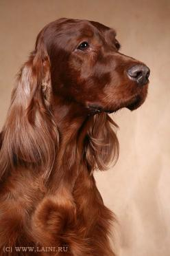 Irish Setter.  I've only ever had one dog in my whole life - an Irish Setter named Katy.  Hope to have another someday. :): Irish Setter Beautiful, Old Dogs, Irish Setter Dogs, Setter Named, Irish Setter 3, Irish Setter Puppies, Irish Setters, Beautif