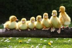 Is this what it means to put all your ducks in a row? Picture time, SMILE! Mervin, turn around and face the camera!: Photos, Ducklings, Animals, Duckies, Ducks, Family Photo, Birds, Row