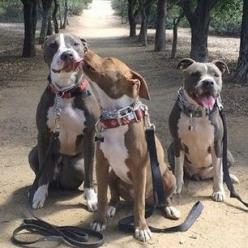 Just your typical violent and aggressive pit bulls ❤️ Photo by these mushes: @Janine Hardy Davic: Pitt Bull, Dogs, Pitbulls ️, Pets Pitbulls, Photo, Pittbull, Animal, Aggressive Pit