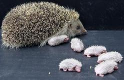 @Katie Lane-Newborn Baby Hedgehogs: Babies, Cuteness, Animals, Critters, Newborn Hedgehogs, Creatures, Baby Hedgehogs, Things