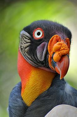 King Vulture Bird: Creature, Vulture Bird, Animals Birds, Amazing Birds, Beautiful Birds