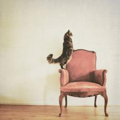 Kitties always like to get a better view!: Cats, Kitty Cat, Kitten, Animals, Kitteh, Meow, Pink Chairs, Crazy Cat, Feline