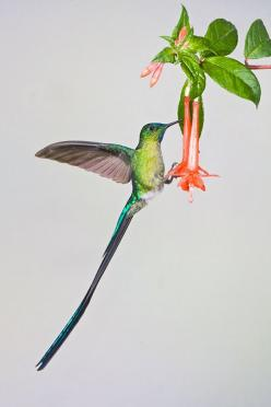 Long Tailed Sylph – Amazing Pictures - Amazing Travel Pictures with Maps for All Around the World: Tailed Sylph, Heavenly Hummingbirds, Flowers Birds Butterflies, Beautiful Hummingbirds, Hummingbirds Colibríes, Linda Robbins, Hummingbirds I