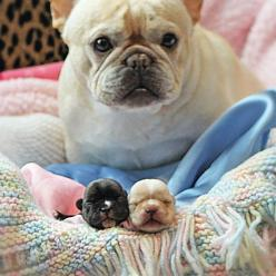 Look what I made!   ...........click here to find out more http://googydog.com    P.S. PLEASE FOLLOW ME IN HERE @Yulia Bekar Bekar watson: Babies, Animals, Puppies, French Bulldogs, Sweet, Pets, Puppy, Adorable, Baby