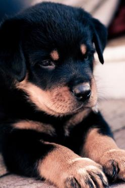 Looks like my Harley when he was a pup. Harley passed away on 12/3/2012. He was 10 years old. He was the best friend a girl could have. I miss his love and joy every day.: Rottweilers, Animals, Dogs, Rottie, Pet, Puppys, Baby, Rottweiler Puppies