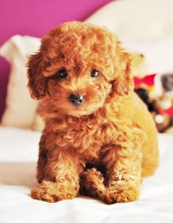 Looks like Tobey's cousin! I want him for my wedding! Ahhh cutie patootie!: Teddy Bear Puppies, Animals, Teddy Bears, Maltipoo, Pets, Puppys, Teddy Bear Dogs