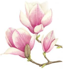 Magnolia illustration: Photos, Magnolias, Painting Flowers, Botanical Illustrations, Watercolor Flower, Art Flowers, Chinese Painting, Magnolia Illustration, Drawing