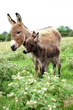 "Miniature Donkeys - To Qualify as ""Miniature"" They Cannot Be Taller Than 36"" at The Top of Their Back. So Cute !: Baby Donkey, Babies, Animals, Horse, Mini Donkey, Donkeys Mules, Donkey New4"