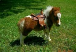 Miniature horses: Animals, Pony, Saddle, Mini Horses, Miniature Horses, Ponies, Adorable, Minis