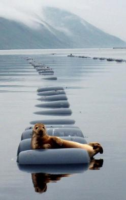 Most interesting seal in the world…: Seals, Seal Relaxing, Animals, Nature, Sea Lion, Creatures, Funny, Interesting Seal, Photo