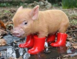 My dream pet!! I heart pigs especailly ones with cute little rain boots <3: Animals, Rain Boots, Pet, Pigs, Piggy, Piglet