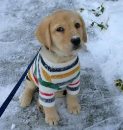 My future pup will hate me. They will be dressed in cute sweaters/scarves/other accessories.: Sweaters, Puppies, Animals, Dogs, Pet, Puppys, Golden Retriever