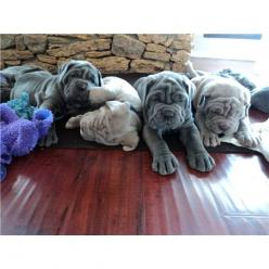 Neaplitain Mastiff Puppies...I already want another mastiff..they have such awesome personalities!: Shar Pei, Pet, Baby Neo S, Neapolitan Mastiff, Baby Gracie, Puppy, Neopolitan Mastiff