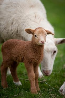 #NoelitoFlow please repin & like ,https://www.twitter,com/noelitoflow: Farm Animals, Baby Lamb, Sweet, Country Living, Sheep, Country Life, Brown Color