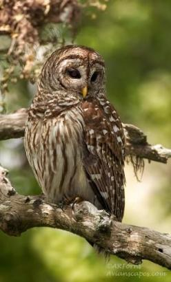 Normally, I don't use my pins as a sounding board, but in this one instance I have to. In light of the Fish and Wildlife's decision to decimate countless Barred Owls in Washington and Oregon in order to protect the endangered Spotted Owl, I must s