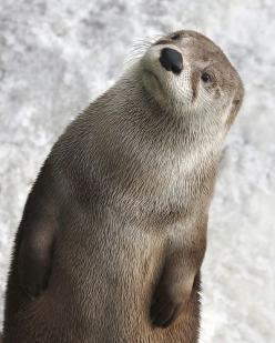 North American River Otter by florin: Guy, Adorable, Otter Animals, Friend