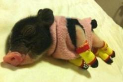 Not a piglet in a blanket but a PIGLET WITH A SWEATER AND CUTE SOCKS! | 27 Tiny Animals That Will Warm Your Heart Today: Piggie, Sock, Sweater, Animals, Pet, Pigs, Piggy, Piglet