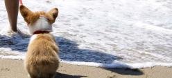 Oh, Baby, Baby, It's a Wide World - Yuki, a Pembroke Welsh #Corgi puppy, sees the sea | Flickr - Photo Sharing! by Michelle Lo, MiLo Photography: Corgis, Welsh Corgi, Baby Corgi, Corgi 3, Corgi Puppies, Corgi Butt, At The Beach, Corgi Stuff