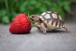 .oh em gee!!!! so cute!!!!   Jey lil guy, how do you eat an elephant? One bite at a time. Go get em lil turtle!: Animals, So Cute, Strawberries, Funny, Turtles, Things, Nom Nom, Strawberry