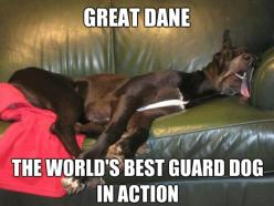 Oh how true this is. Lol #great #dane #dog: Great Danes, Animals, Dogs, Stuff, Pets, Funny, Greatdanes, Guard Dog
