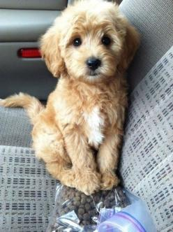 Oh my gosh....I want!: Doggie, Puppies, Animals, Dogs, Pet, Puppys, Box, Goldendoodle, Golden Doodles