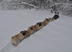 Oh pugs: Pugs Follow, Corgi, Pets, Cats And Dogs, Animals 3, Snow Plow, Animals Being Animals