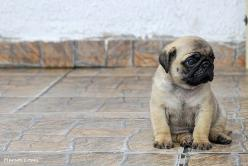 oh, this little one makes me wanna scoop him up and take him home, or her, too!: Babies, Animals, Dogs, Sweet, Pug Puppies, Pug Life, Pugs Pugs, Baby Pugs