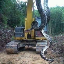 Oil Patch Stories - Killed by a Snake - News - #python #reticulatedPython #westpapua: Animals, Pound Snake, Big Snake, Lake, 700 Pound, Snakes, Photo, North Carolina