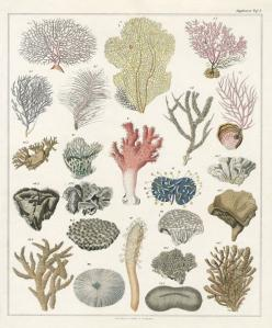 Oken Antique Prints, shell prints, fish prints, coral prints, jellyfish prints 1833-1841: Fish Print, Natural History, Fauna, Flora, Coral Prints, History Prints, Coral Illustrations