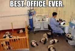 OMG SQUEE: Baby Pandas, Animals, Stuff, Offices, To Work, Funny, Funnies, Things