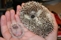 OMG!! the big one is cute the baby is weird lookin poor thing : Babies, Cuteness, Stuff, Pets, Babyhedgehog, Adorable, Baby Hedgehogs, Things, Baby Animals