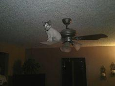 One day you're the president of your fraternity, and then you wake up on top of a ceiling fan. | 28 Cats Who Have No Idea How They Ended Up Here: Funny Animals, Funny Cats, Pet, Funny Stuff, Crazy Cat, Humor, Kitty