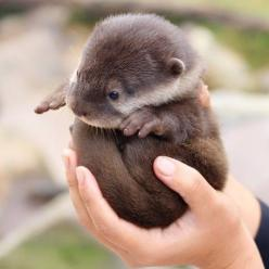 otter ball: Babies, Cuteness, Baby Otters, Otter Ball, So Cute, Pet, Baby Animals, Babyotters