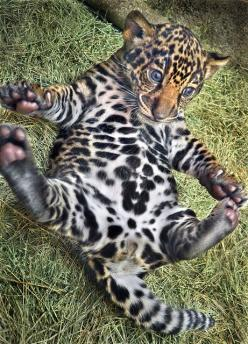 Our jaguar cubs have names! This is the male, Tikal, named for an important Mayan cultural center. The female is Maderas, named for a volcano in Nicaragua. Photo by Ion Moe.: Jaguar, Babies, Big Cats, Then Touch, Bigcats, Leopards, Baby Animals, Wild Cats