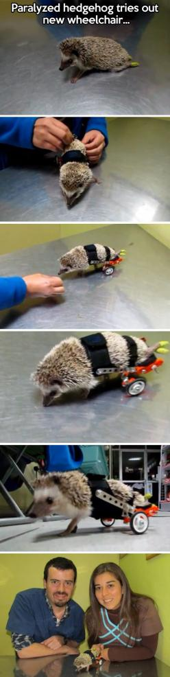 Paralyzed hedgehog is fitted with wheels…: Cuteness, Stuff, Wheelchair, Wheels, Hedgie, Things, Paralyzed Hedgehog, Hedgehogs, Animal