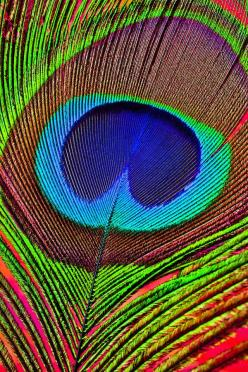Peacock Feather Close Up Photograph  - Peacock Feather Close Up Fine Art Print: Colour, Peacock Feathers, Idea, Peacocks, Animal Close Up, Colors, Peacock Feather Tattoo, Feather Close
