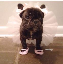 PetsLady's Pick: Cute Ballerina Pug Of The Day  ... see more at PetsLady.com ... The FUN site for Animal Lovers: French Bulldogs, Tutu, Pet, Ballerina Pug, Pugs, Puppy, Ballerina Frenchie, Animal
