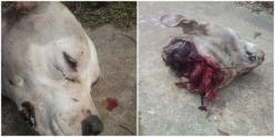 PLEASE PLEASE SIGN and SHARE.....Justice For Millie! Female Pit Bull Attacked By Hunters And Had Her Head Removed! | PetitionHub.org: Animal Petitions, Animal Rights, Animal Cruelty, Pitbull, Animal Abuse, Dogs Puppies, Action, Hell, Female Pit