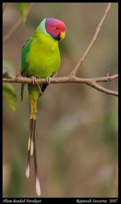 Plum Headed Parakeet - ©Rajneesh Suvarna - http://naturechronicles.com/gallery/v/Feather/Parakeet_PlumHeaded+9968_fcw.jpg.html: Colorful Birds, Parrots Budgies Toucans, Parakeets, Parrots Παπαγαλοι, Plum Headed Parakeet, Birds Parrots, Birds Lapas, Parrot