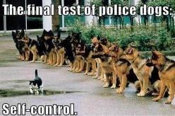 police-dogs at sit-stay watching a cat. good boys: Cats, Animals, Dogs, Quote, Funny Stuff, Humor, German Shepherds, Things, Walk