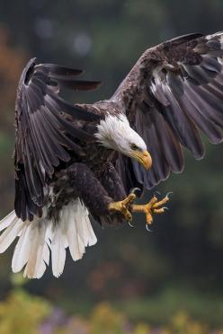 Predator of the sky. #Eagle #Raptor: Predator, American Bald, Hummingbirds Eagles Others, Nature, Beautiful Animals, Eagle Raptor, Animals Birds, Bald Eagles, Photo