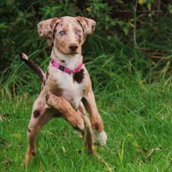 Prized by Native Americans for their incredible hunting abilities, these pups have been favorites of famous hunters like Teddy Roosevelt. The Catahoula Leopard Dog is named after the Catahoula Parish in Louisiana, where the breed originated.: Animals, Dog
