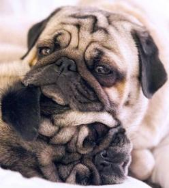 Pug buddies: Awwww Pug, Dogs, Pug Life, Pet, Pug Pillow, Pugs Pugs, Smooshy Faces, Squishy Faces, Animal