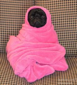 Pug-in-a-blanket. @Christina Childress Childress Childress & Miller Cascarella: Animals, Dogs, Pug Life, Pet, Funny, Pink, Pugs