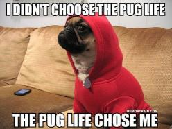 Pug Life. Please go to my cute board and comment or like on my R.I.P Commander Chubby Cheeks my hamster I loved him thank you.: Animals, Dogs, Thug Life, Pug Life, Funny Stuff, Life Chose, Pugs